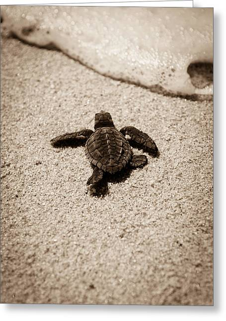 Hatching Greeting Cards - Baby Sea Turtle Greeting Card by Sebastian Musial