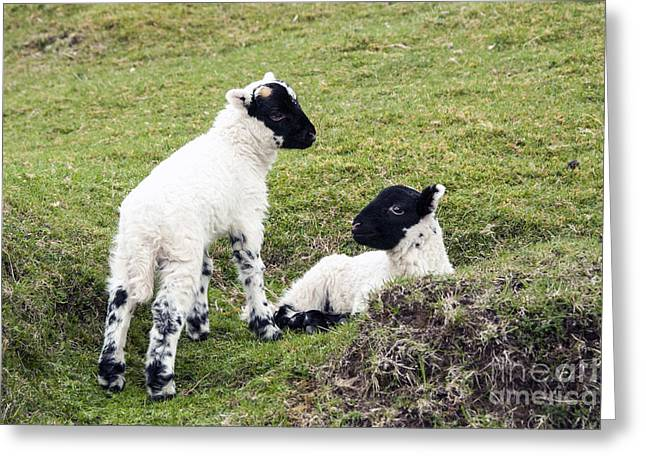 Highlands Of Scotland Greeting Cards - Baby Sheep Greeting Card by Juli Scalzi
