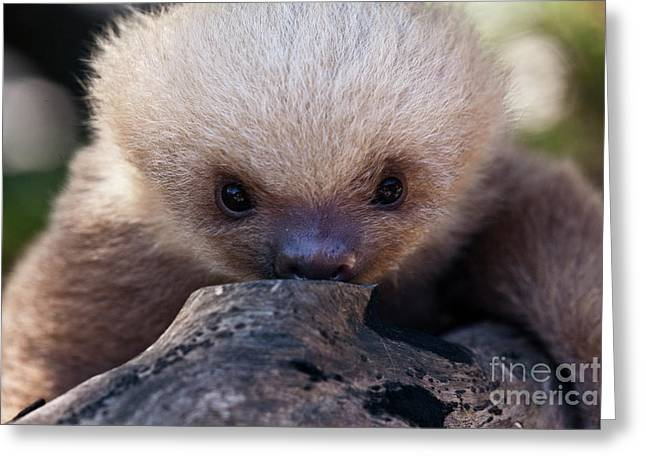 Baby Sloth 2 Greeting Card by Heiko Koehrer-Wagner