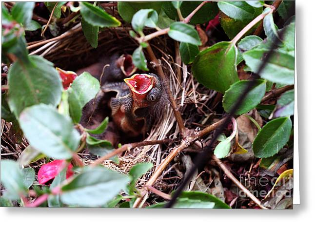 Hungry Chicks Greeting Cards - Baby Sparrow in a Nest Greeting Card by Stephanie Frey