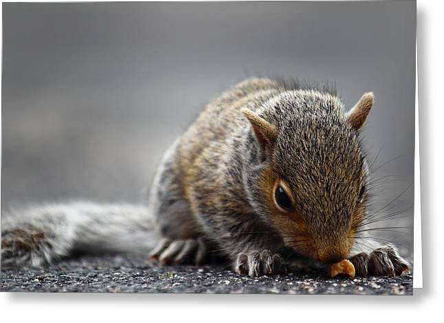 Andrew Pacheco Greeting Cards - Baby Squirrel Gets a Snack Greeting Card by Andrew Pacheco