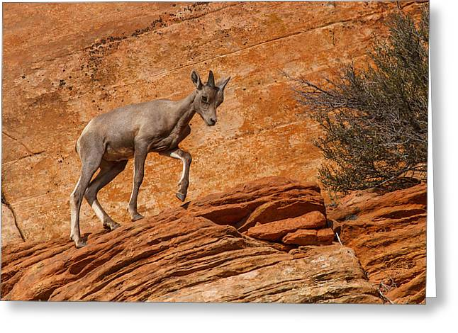Southwest Wildlife Greeting Cards - Baby Steps Greeting Card by James Marvin Phelps