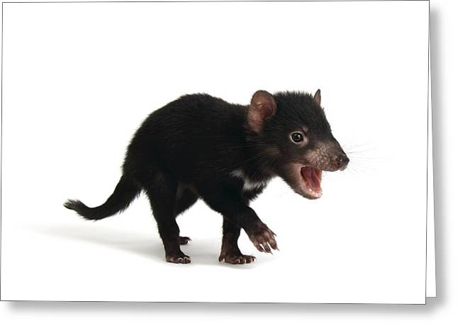 Baby Tasmanian devil Greeting Card by Science Photo Library