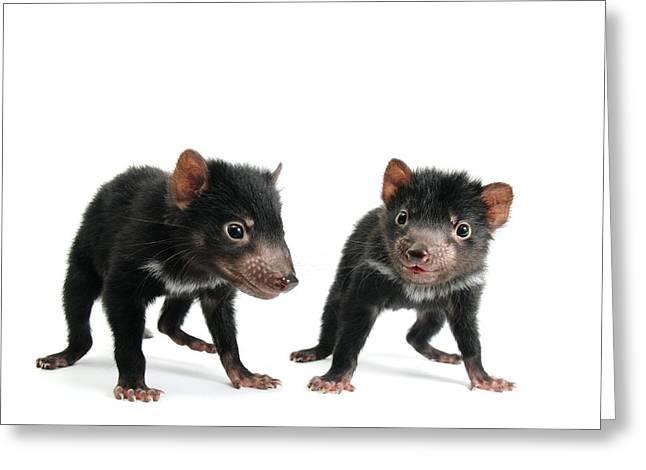 Tasmanian Greeting Cards - Baby Tasmanian devils Greeting Card by Science Photo Library