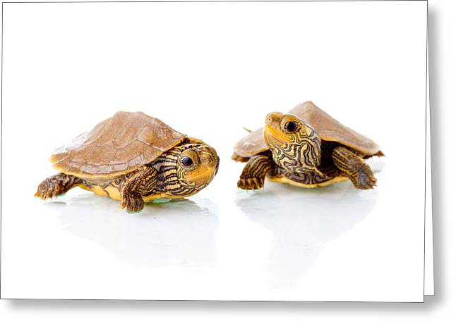 Shell Pattern Greeting Cards - Baby turtles Greeting Card by Alexey Stiop