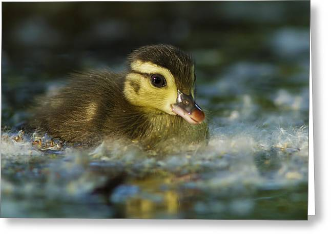Baby Wood Duck Greeting Card by Mircea Costina Photography