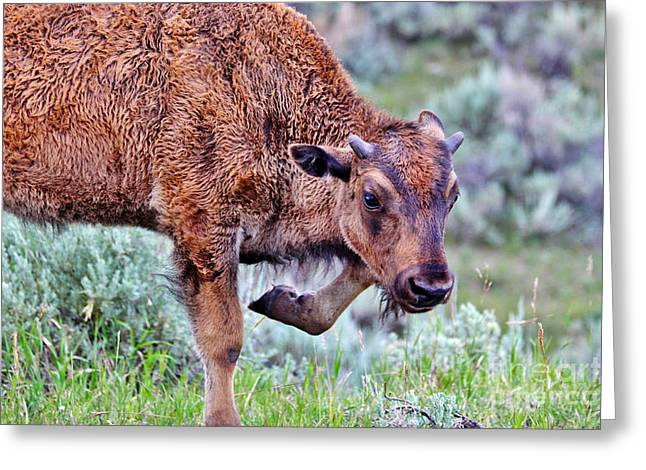 Male Native American Standing Greeting Cards - Baby Yellowstone Bison Greeting Card by Janice Rae Pariza