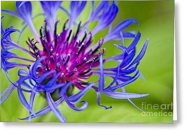 True Blue Greeting Cards - Bachelor Button Macro Greeting Card by Sharon  Talson