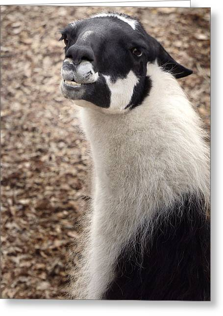 Llamas Greeting Cards - Bachelor Number 1 Greeting Card by Darlene Kwiatkowski