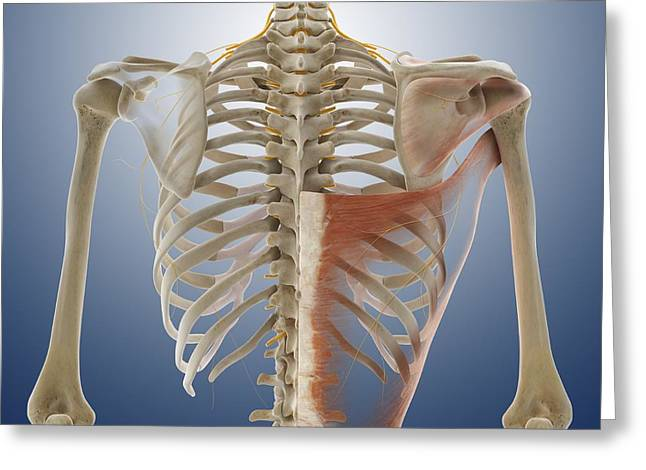Musculocutaneous Nerves Greeting Cards - Back muscles, artwork Greeting Card by Science Photo Library