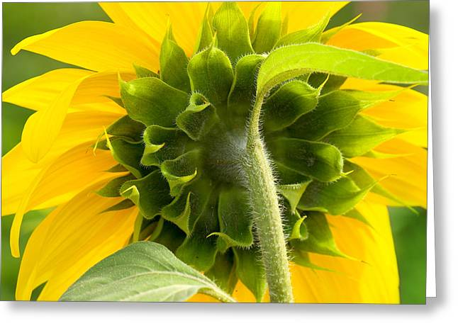 Yellow Sunflower Pyrography Greeting Cards - Back Greeting Card by Steffen Gierok