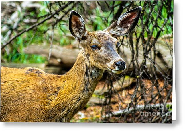 North Fork Greeting Cards - Back-tail Doe Greeting Card by Robert Bales