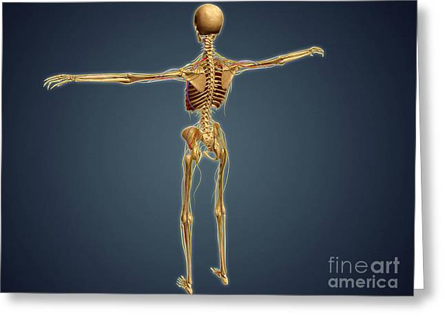 Sciatic Nerves Greeting Cards - Back View Of Human Skeleton Greeting Card by Stocktrek Images