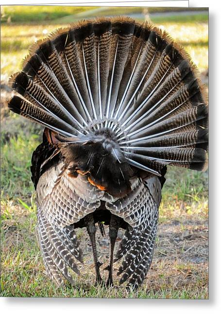 Meleagris Gallopavo Greeting Cards - Back view Greeting Card by Zina Stromberg
