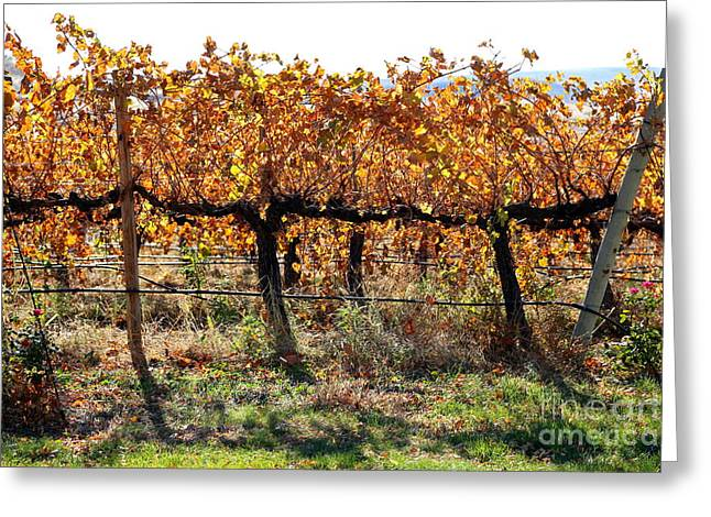 Grape Leaves Greeting Cards - Backlit Autumn Vineyard Greeting Card by Carol Groenen