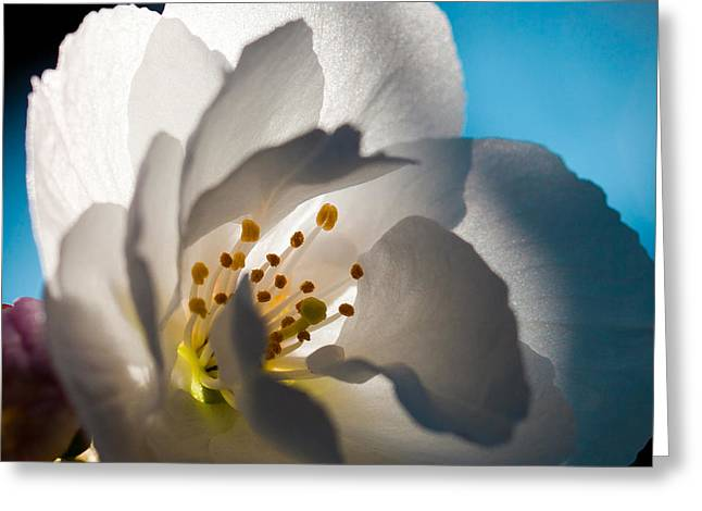Backlit Cherry Blossom Greeting Card by David Patterson