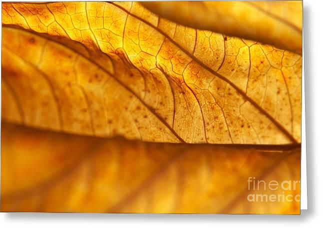 Curvy Beauty Greeting Cards - Backlit Dead Hydrangea Leaf Greeting Card by Anna Lisa Yoder