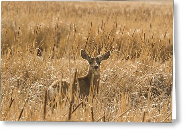 Mammalian Greeting Cards - Backlit Deer Greeting Card by Jean Noren