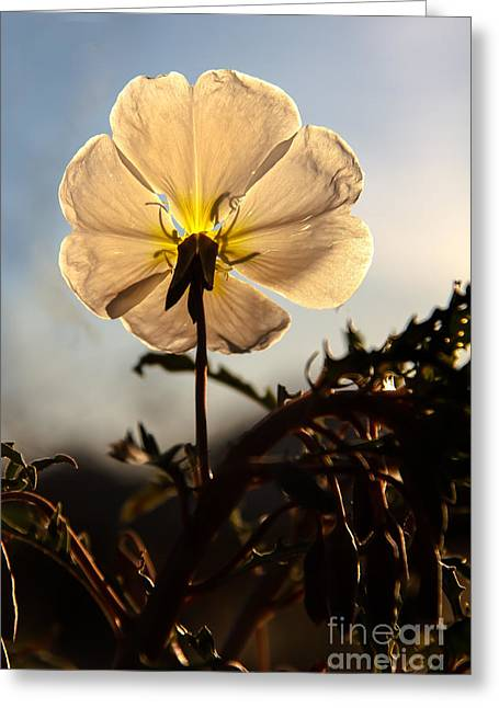 Haybale Greeting Cards - Backlit Evening Primrose Greeting Card by Robert Bales
