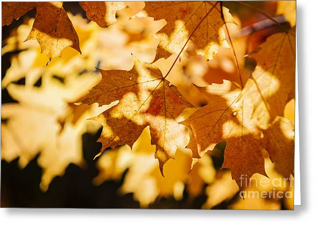 Backlit Greeting Cards - Backlit fall maple leaves Greeting Card by Elena Elisseeva