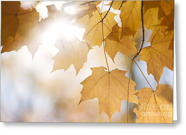 Sunflare Greeting Cards - Backlit fall maple leaves in sunshine Greeting Card by Elena Elisseeva
