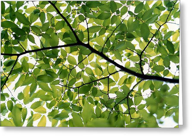 Green Leafs Greeting Cards - Backlit Green Tree Branch Greeting Card by Panoramic Images