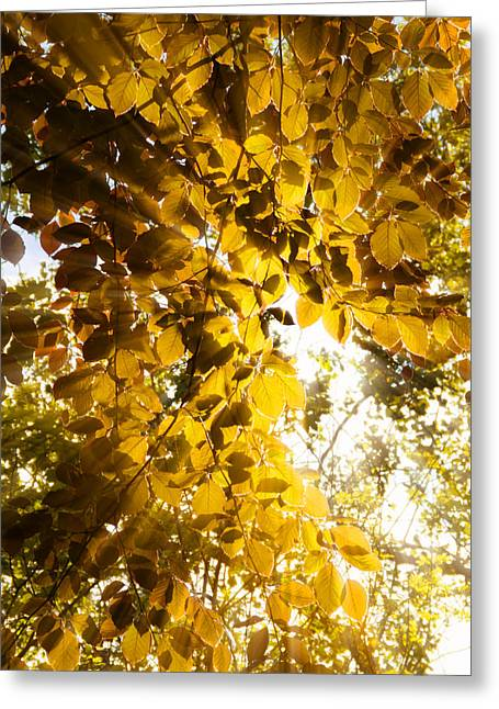 Bright Leaves Greeting Cards - Backlit Leaves Greeting Card by Wim Lanclus