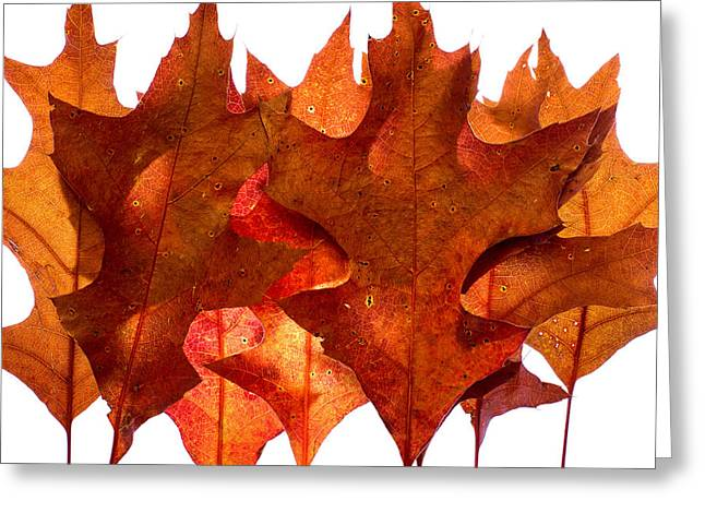 Turning Leaves Greeting Cards - Backlit Oak Leaves Greeting Card by Chris Bordeleau