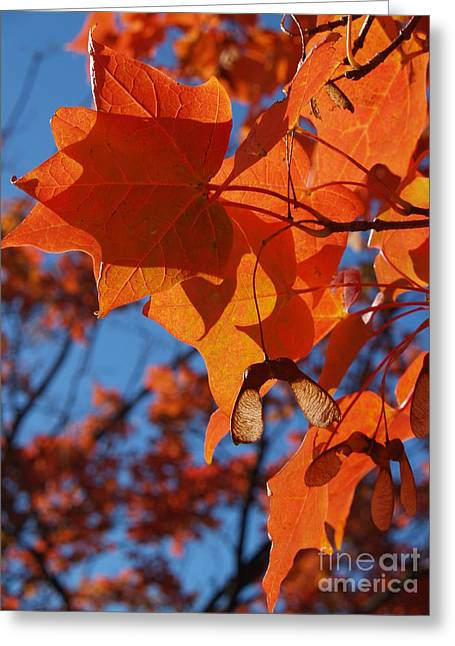 From Seed Greeting Cards - Backlit Orange Sugar Maple Leaves Greeting Card by Anna Lisa Yoder