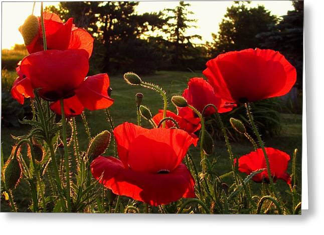 Backlit Red Poppies Greeting Card by Mary Wolf
