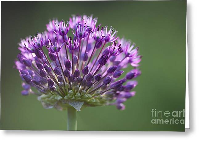 Allium Hollandicum Greeting Cards - Backlit Sensation Greeting Card by Anne Gilbert
