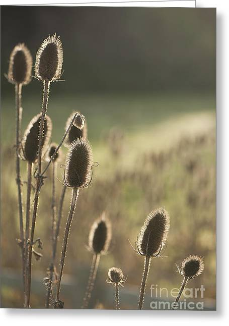 Neutral Background Greeting Cards - Backlit Teasel Greeting Card by Anne Gilbert