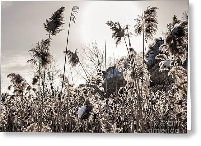 Backlit Greeting Cards - Backlit winter reeds Greeting Card by Elena Elisseeva