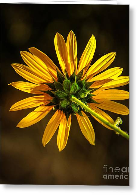 Aster Greeting Cards - Backside Greeting Card by Robert Bales