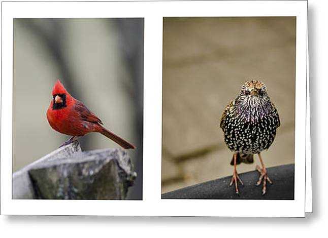 Starlings Greeting Cards - Backyard Bird Series Greeting Card by Heather Applegate