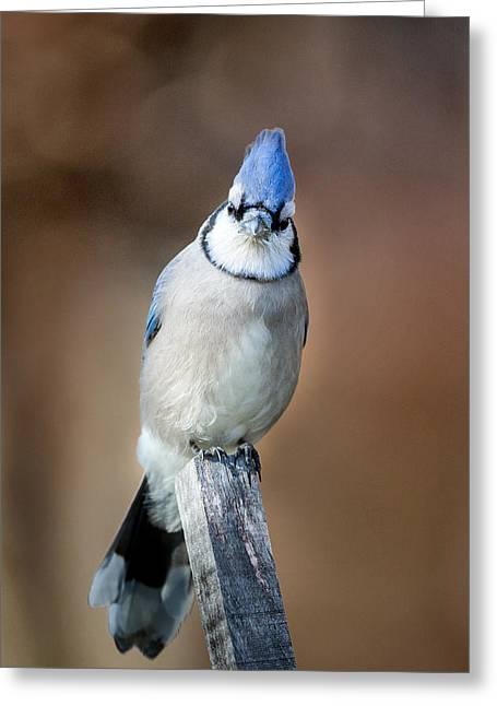 Backyard Birds Blue Jay Greeting Card by Bill Wakeley