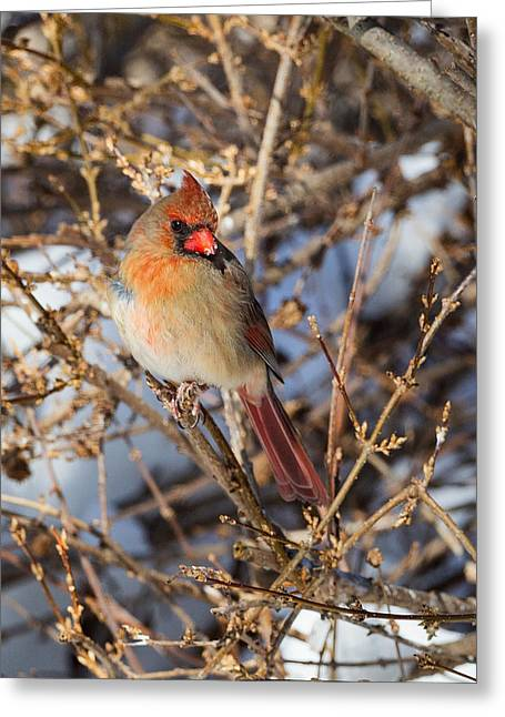 Song Bird Greeting Cards - Backyard Birds Female Nothern Cardinal Greeting Card by Bill  Wakeley