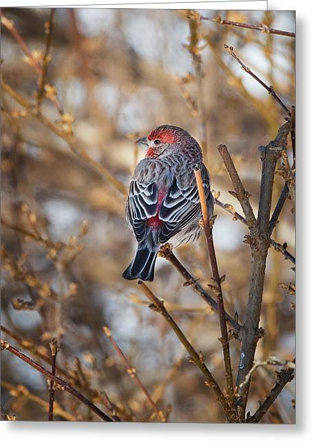 Song Birds Greeting Cards - Backyard Birds House Finch Greeting Card by Bill  Wakeley