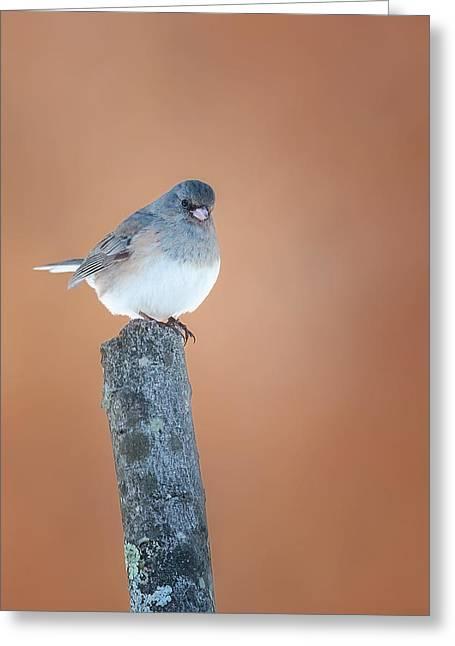 Sparrow Greeting Cards - Backyard Birds Junco Greeting Card by Bill Wakeley