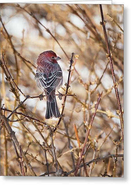 House Finch Greeting Cards - Backyard Birds Male House Finch Greeting Card by Bill  Wakeley