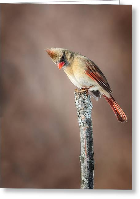 Female Northern Cardinal Greeting Cards - Backyard Birds Northern Cardinal Greeting Card by Bill Wakeley