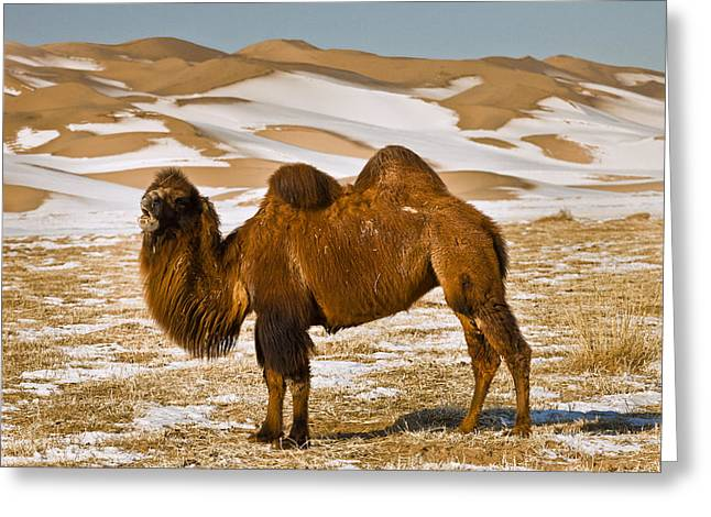 Grazing Snow Greeting Cards - Bactrian Camel Grazing Khongor Sand Greeting Card by Colin Monteath