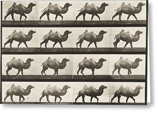 Slide Photographs Greeting Cards - Bactrian Camel Walking Greeting Card by Celestial Images