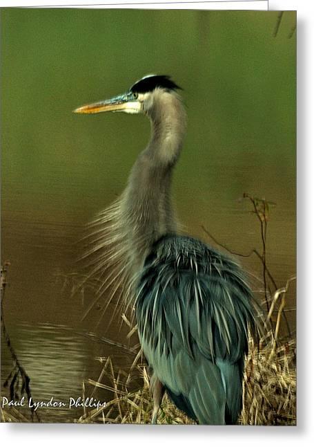 Bad Hair Day Heron Greeting Card by Paul Lyndon Phillips