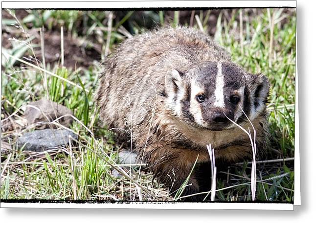 Natural Focal Point Photography Greeting Cards - Badger in Yellowstone Greeting Card by Natural Focal Point Photography