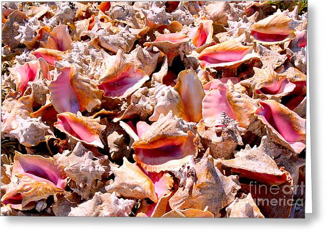 Conch Greeting Cards - Bahama Conch Greeting Card by Carey Chen