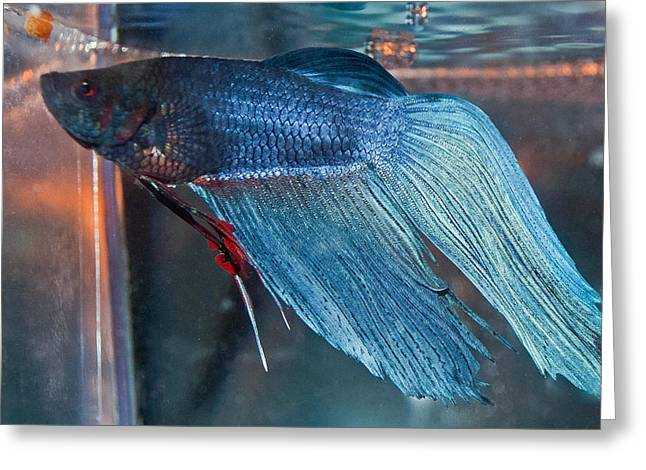 Betta Greeting Cards - Bait the Betta Greeting Card by Roger Reeves  and Terrie Heslop