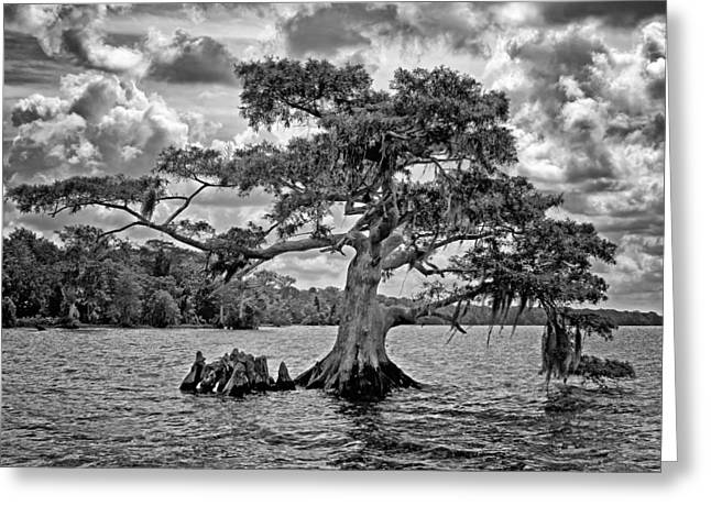 Aquatic Greeting Cards - Bald Cypress - bw Greeting Card by Nikolyn McDonald