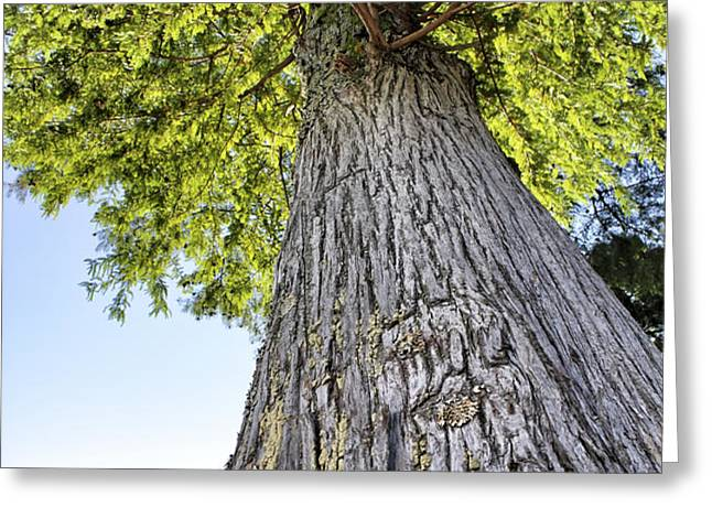 Bald Cypress in Morning Light Greeting Card by Jason Politte