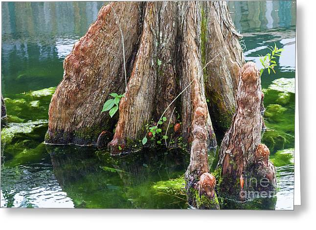 Reflection In Water Greeting Cards - Bald Cypress in Water Greeting Card by Diane Macdonald